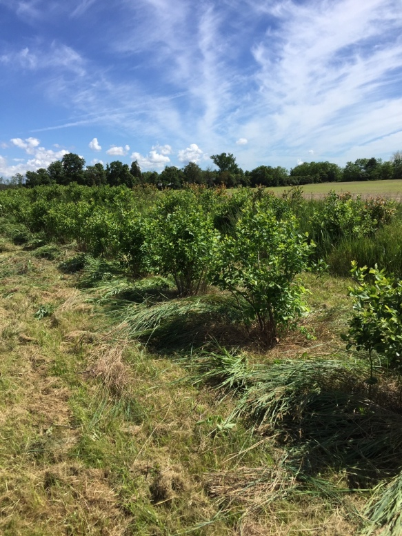 row of pruned blueberries.JPG